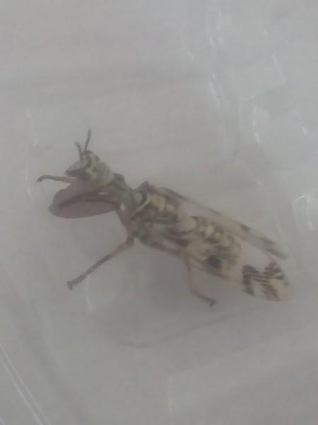 Encuentran insecto poco usual de divisar, en el centro de la ciudad