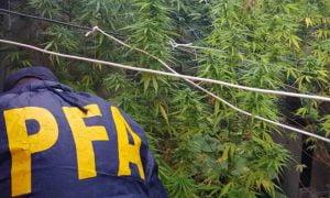 Selva de marihuana: secuestran 40 kilos en Bahía Blanca