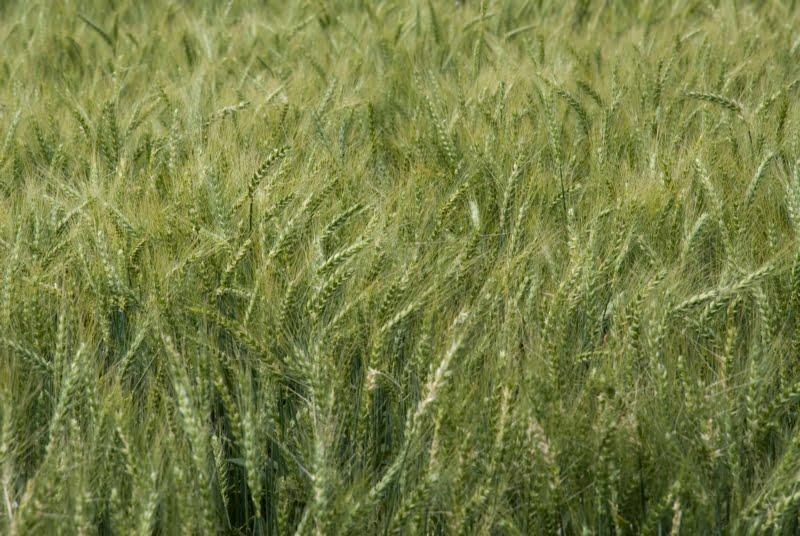 Trigo y cebada: Científicos ratifican la importancia de proteger al cultivo desde la semilla