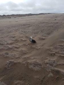 Albatros rescatado en Claromecó