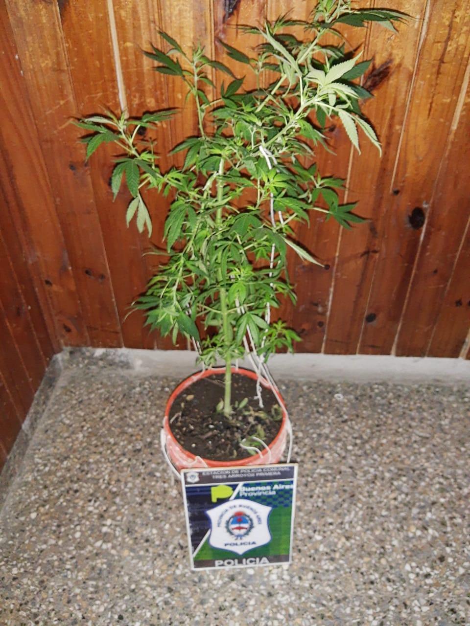 Alertada por un  desorden de familia policía secuestra planta de Cannabis