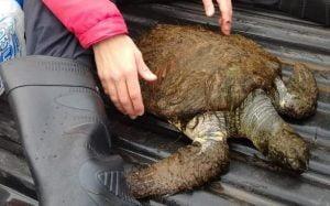 Vecinos rescataron una tortuga verde en una playa de Necochea