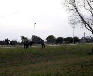 Orense: labran infracción por equinos sueltos en la vía pública