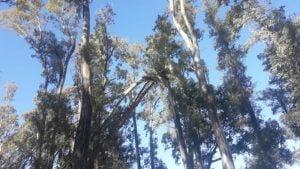 Realizan tala sanitaria y de seguridad en el Parque Cabañas