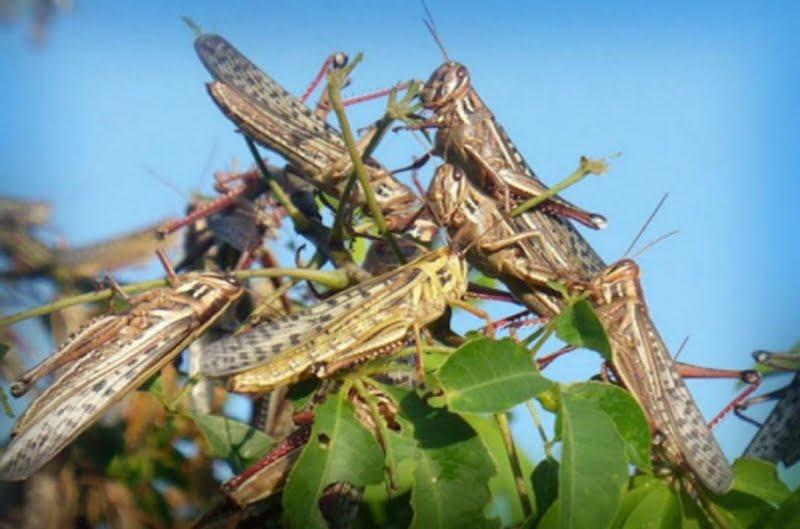 Declaran alerta fitosanitaria hasta 2021 por la plaga de tucura quebrachera
