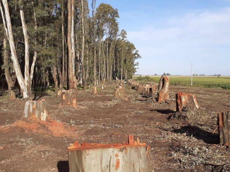 Informe del Ing. Carabio sobre la tala de árboles en el Parque Cabañas