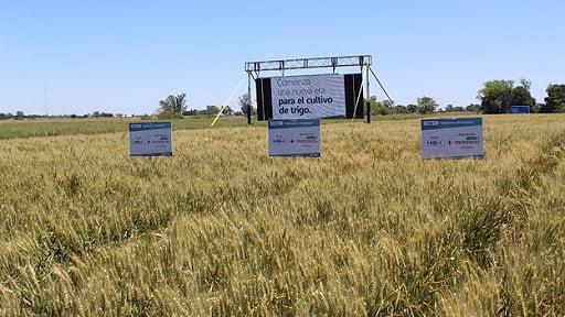 Argentina  aprobó el uso de tecnología HB4  para el cultivo de trigo transgénico