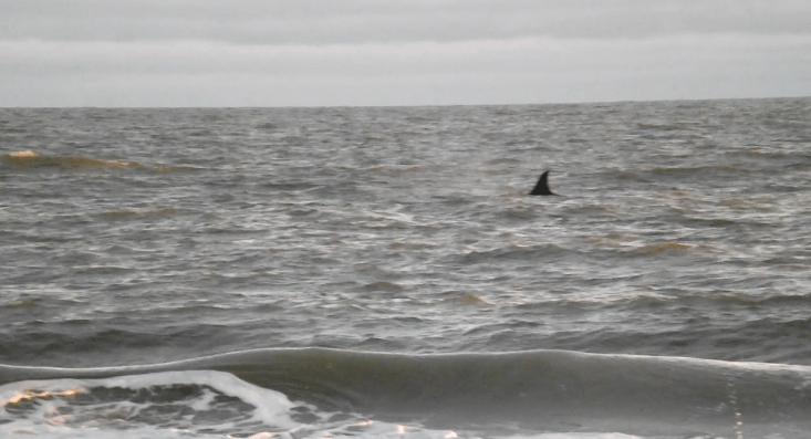 Aparecieron orcas en Marisol (video)