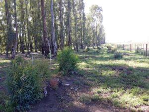 Rápida recuperación de los árboles podados en el Parque Cabañas