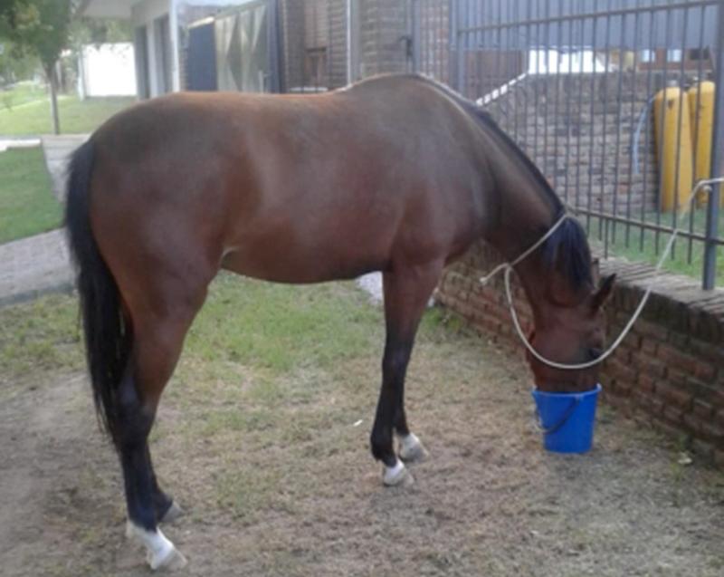 Buscan al dueño de un caballo que deambulaba por Avenida Belgrano