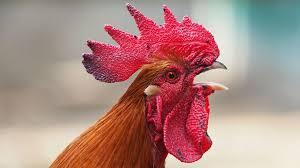 En Pringles: multa de casi 40 mil pesos al dueño de un gallo, por ruidos molestos