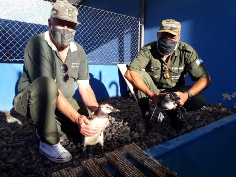 Trasladaron 6 pingüinos patagónicos  desde Claromecó a Bahía Blanca