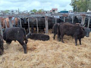 Remate de Agropecuaria Cepeda: 500 mil de promedio en toros de pedigree