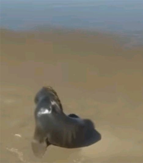 Lobo marino en Claromecó (video)